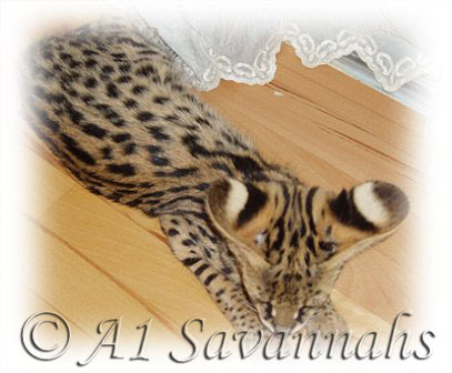 "A1 Savannahs African Serval ""aren't my ears Gorgeous"""