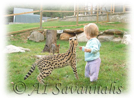 A1 Savannahs 5 month old Serval