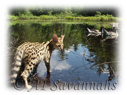 What geese don't know: Servals swim and dive for food...