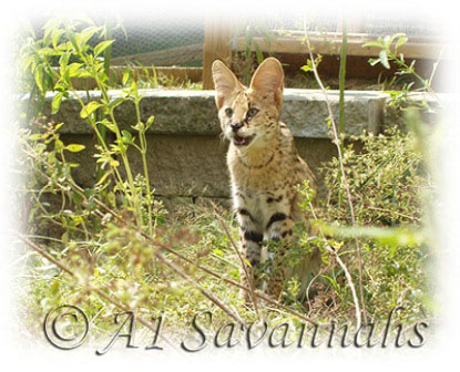 A1 Savannahs Serval Pharao among the herbs