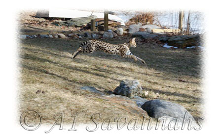 A1 Savannahs Female Serval in mid leap.