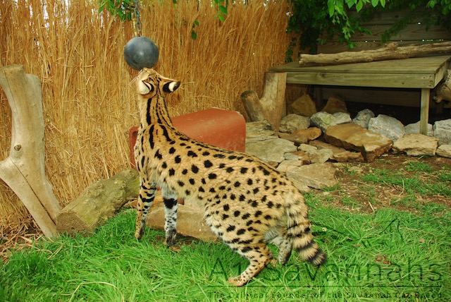 African Serval at play