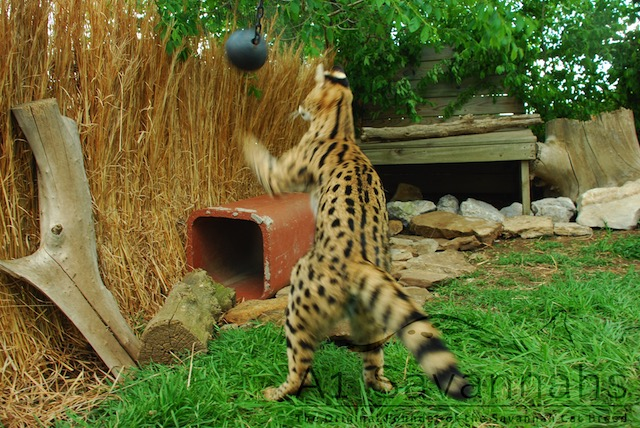 A1Savannahs serval Iris playing