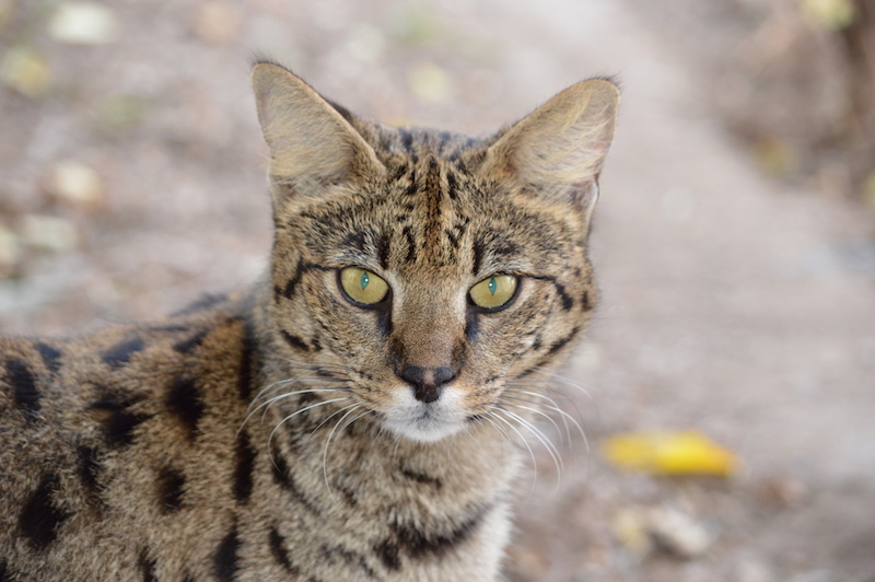 Indira A1Savannahs F1 Female Savannah Cat
