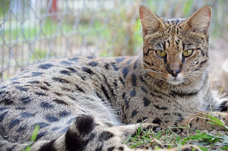 A1Savannahs Female F1 Savannah Cat Indira