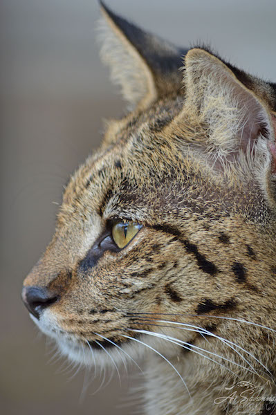 A1Savannahs Indira is an F1 Female Savannah Cat