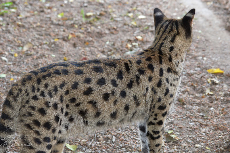 A1Savannahs Indira is a Female F1 Savannah Cat