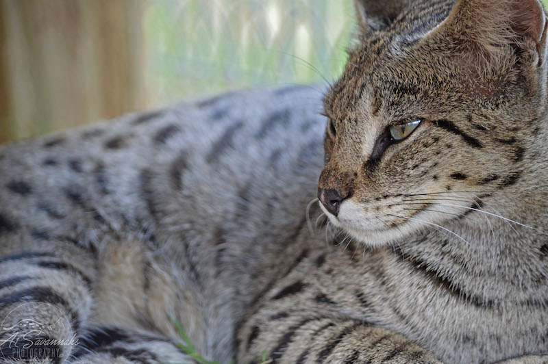A1Savannahs Female F1 Savannah Cat Leona