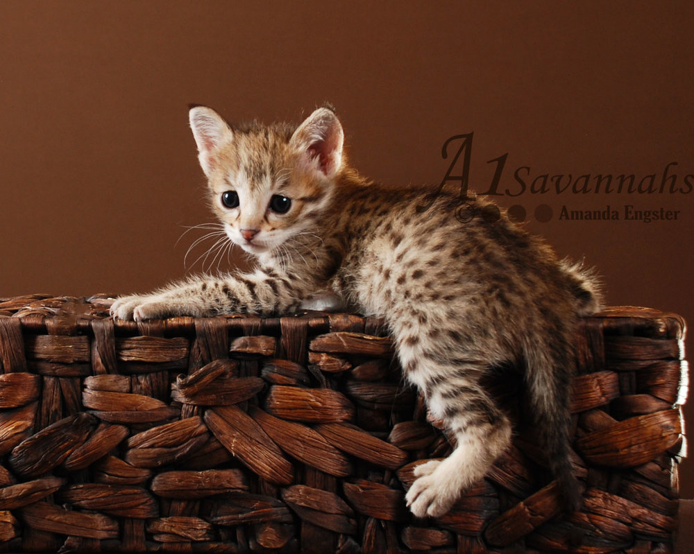 Daisy F2 Savannah Female