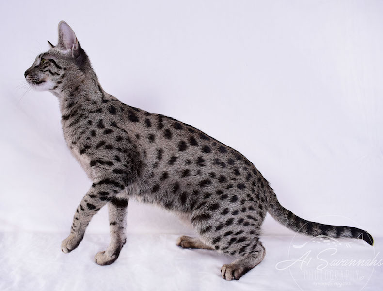 A1Savannahs Isadora is a Female F2 Savannah Cat