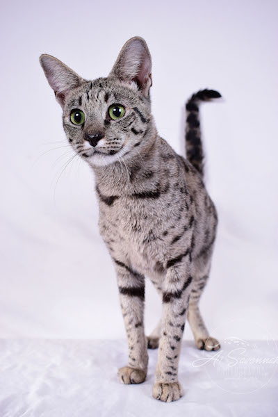 A1Savannahs Female F2 Savannah Cat Isadora