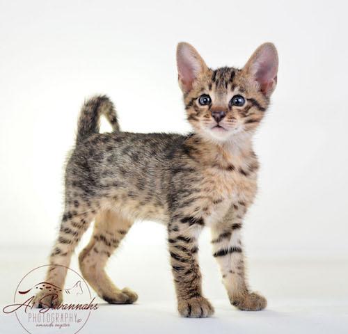 Issac F3 Male Savannah Kitten