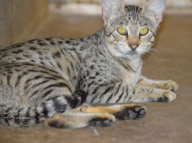A1Savannahs Female F2 Savannah Cat Trinidad
