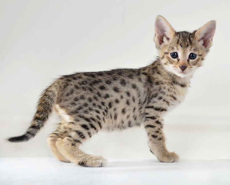 A1Savannahs Female F3 Savannah Cat Ilya
