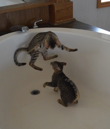 A1Savannahs kittens at play