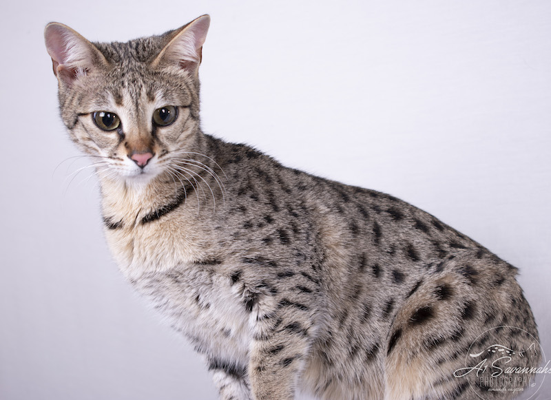 A1Savannahs F2 Savannah Female Savannah Cat Stella