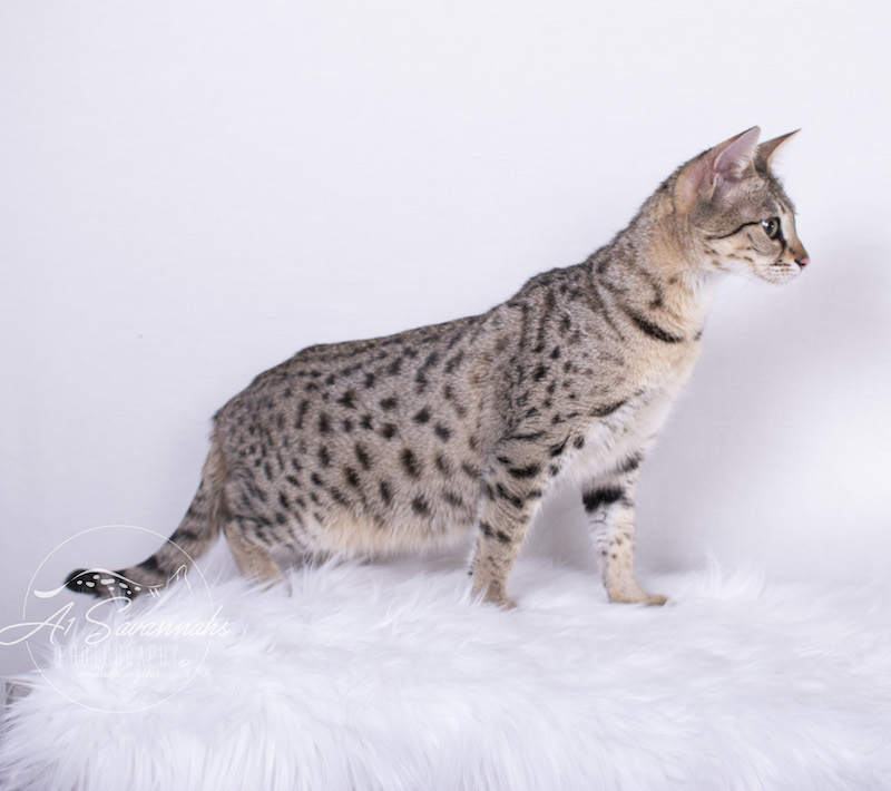 A1Savannahs F2 Female Savannah Cat Stella