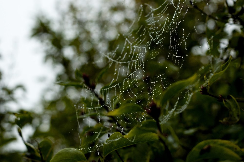 Spider web glistening with water droplets.