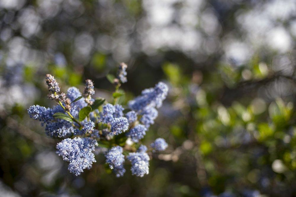 California Wild Lilac ( Ceanothus ).