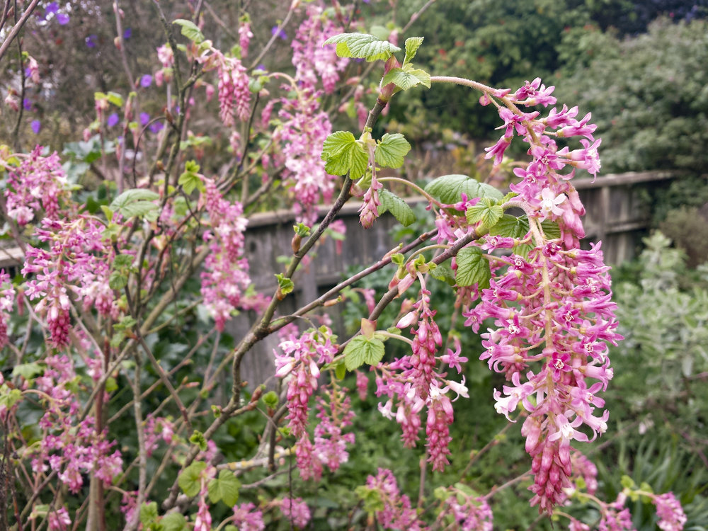 Ribes sanguineum  at the GFE.