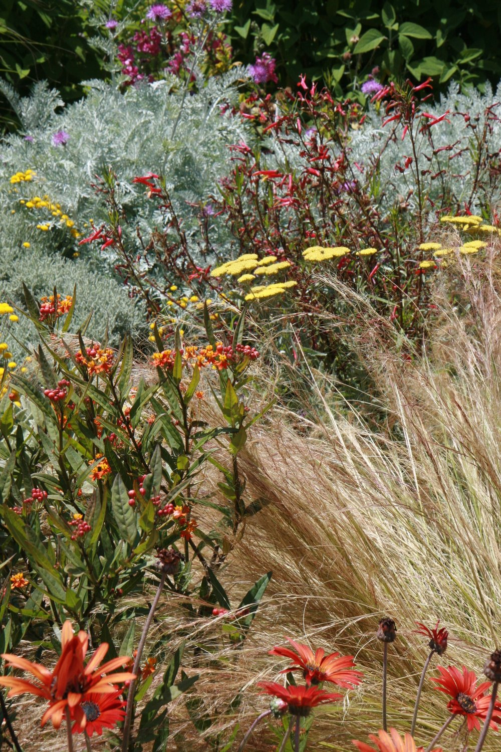 Lobelia , yarrow and Mexican feather grass.