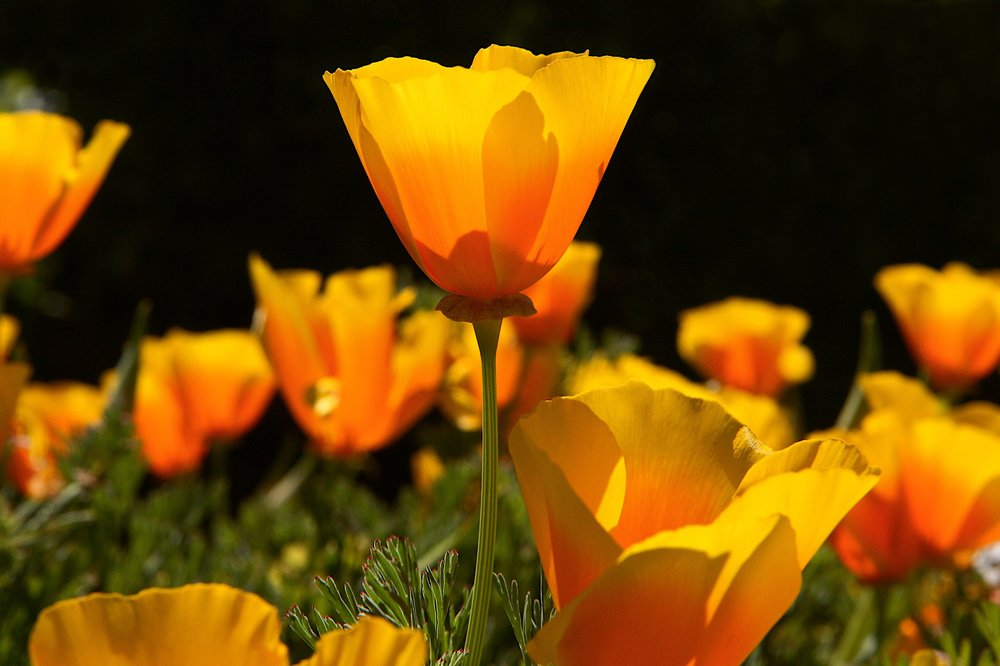 California poppy.