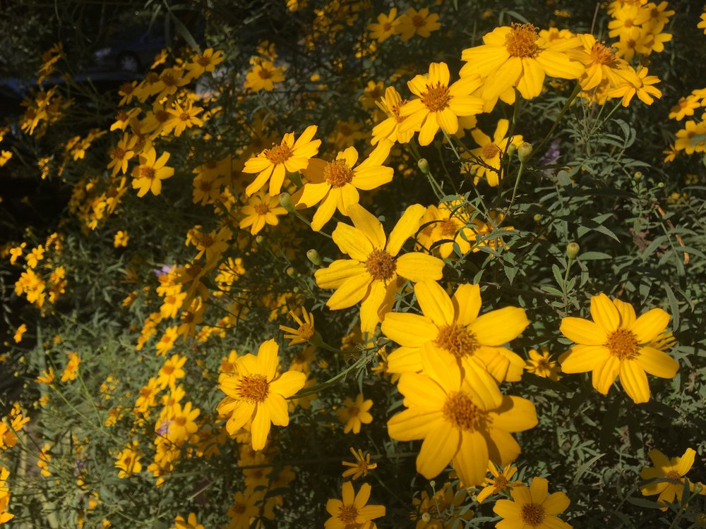 Copper Canyon daisy ( Tagetes lemmonii ) at GFE.