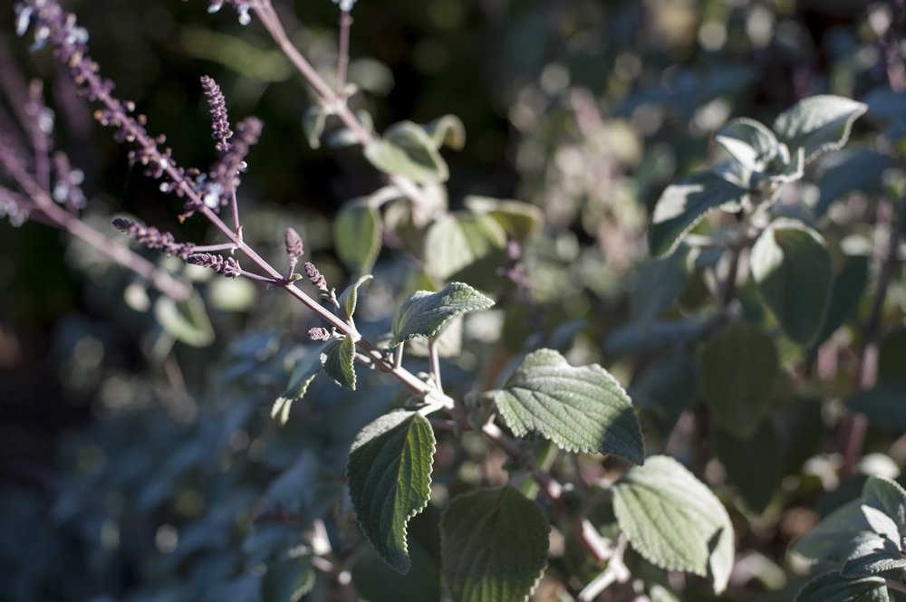 Plectranthus argentea  'Silver Shield.'