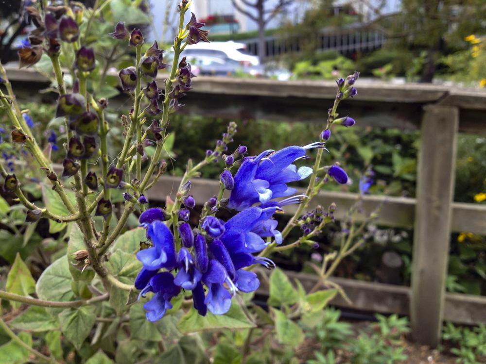 Salvia cacaliifolia.