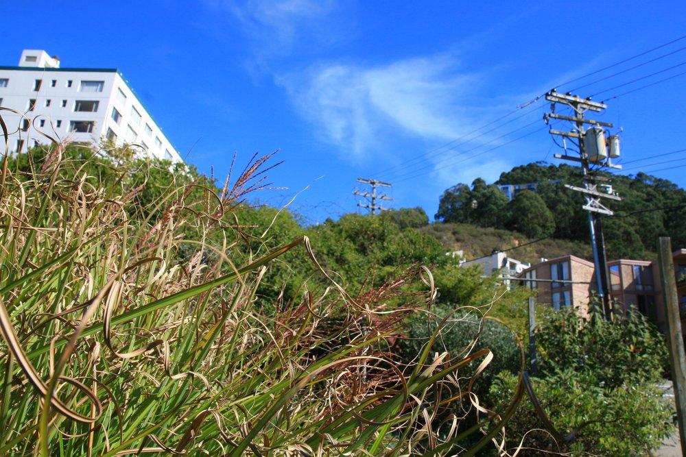 Miscanthus sinensis  'variegata' at GFE.