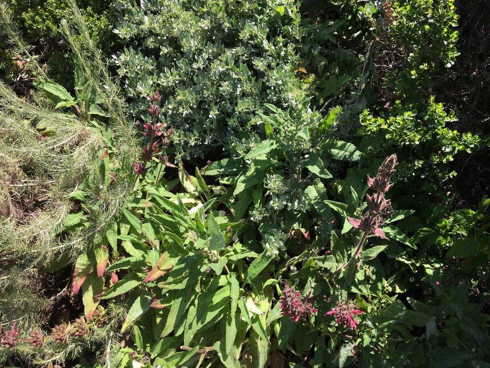 The native hillside of sagebrush, hummingbird sage, salt bush, and coyote bush.