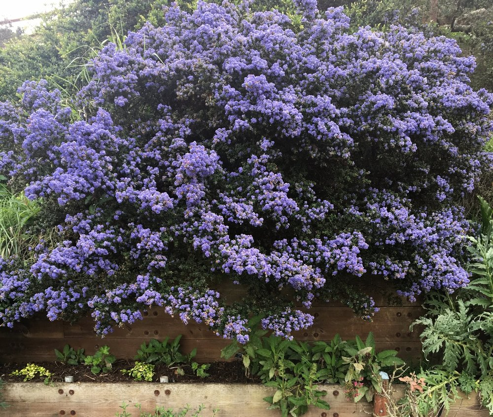 Ceanothus 'Dark Star' at GFE.