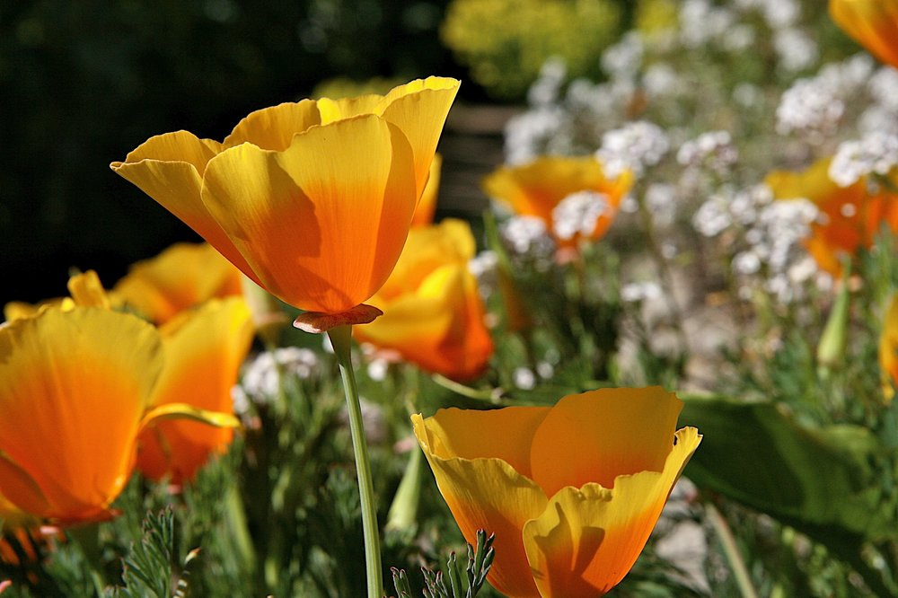 California poppy and yarrow.