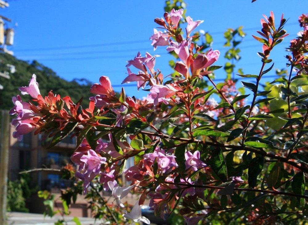 Abelia grandiflora.