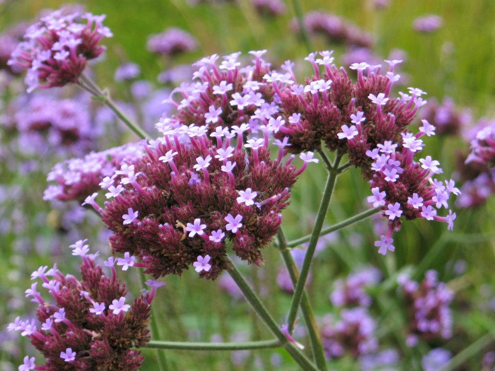 Verbena bonariensis.