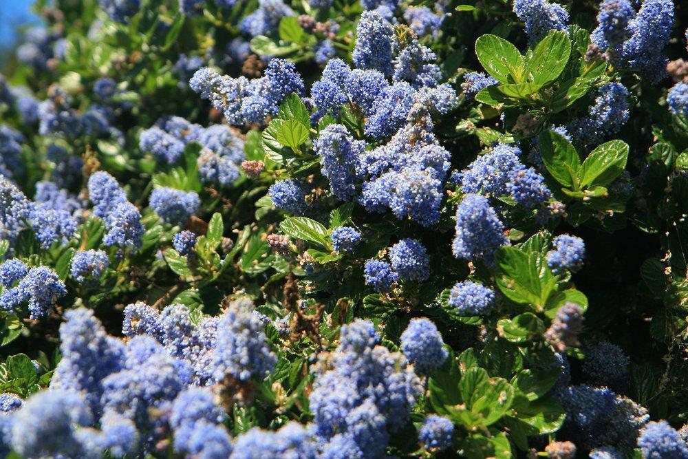 Ceanothus  in bloom.