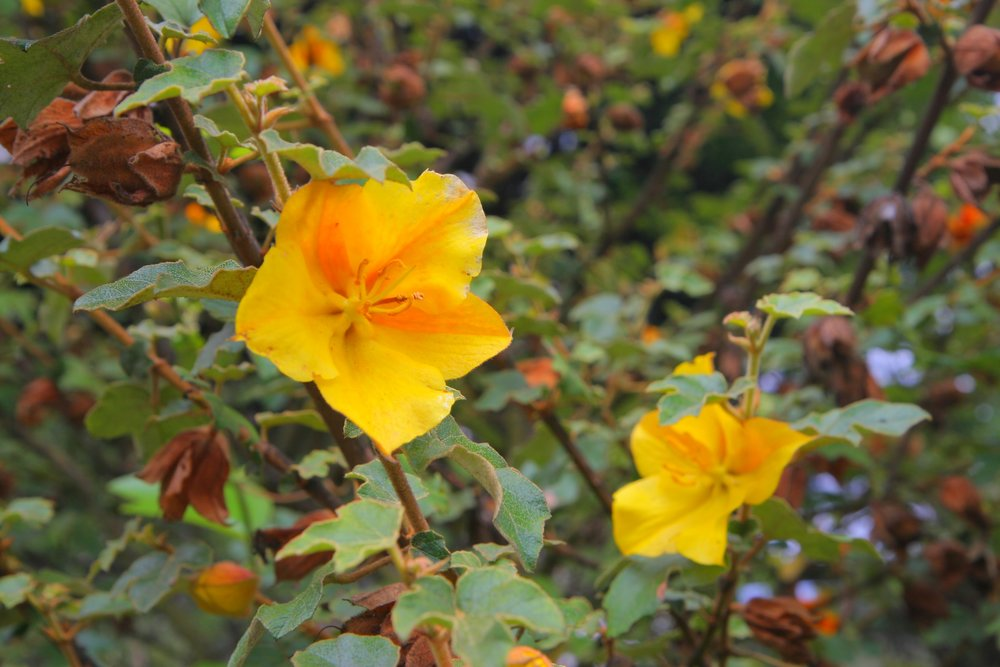 Fremontodendron  (California flannel bush).