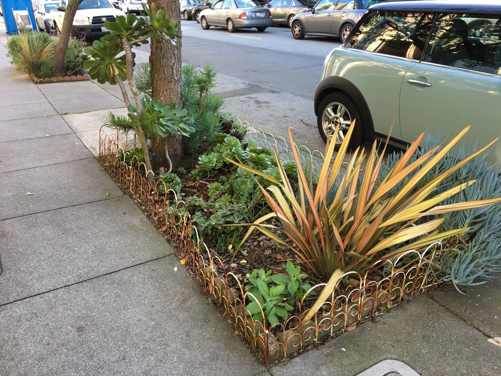 A sidewalk garden featuring New Zealand flax in the Inner Sunset.