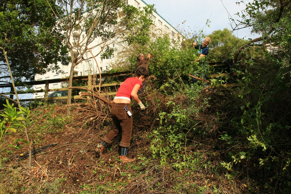 Heavily pruning an overgrown shrub.