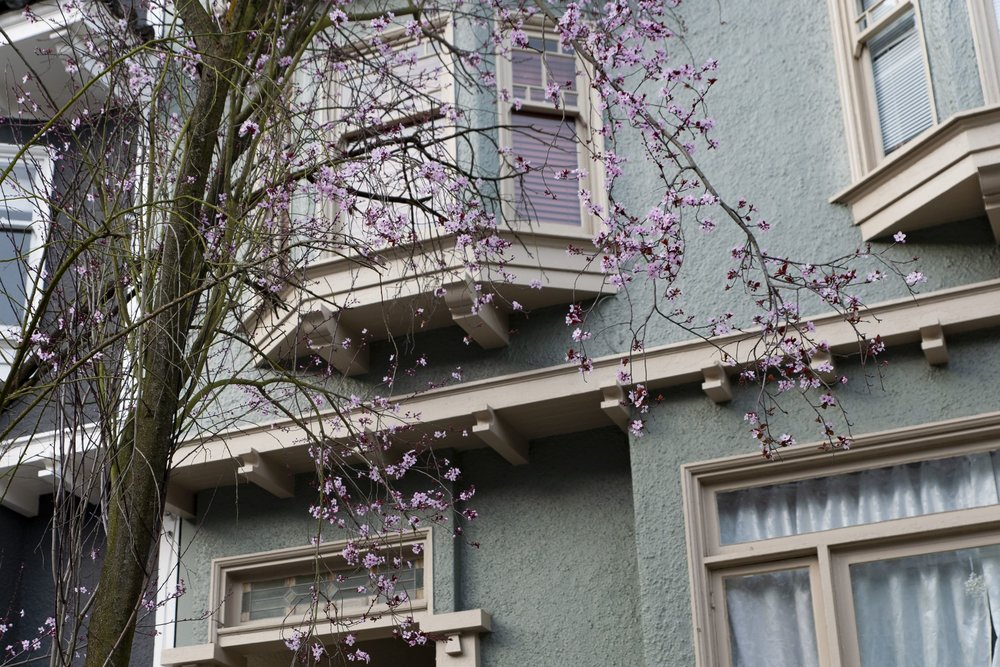 A plum in bloom on the sidewalk in the Inner Sunset.