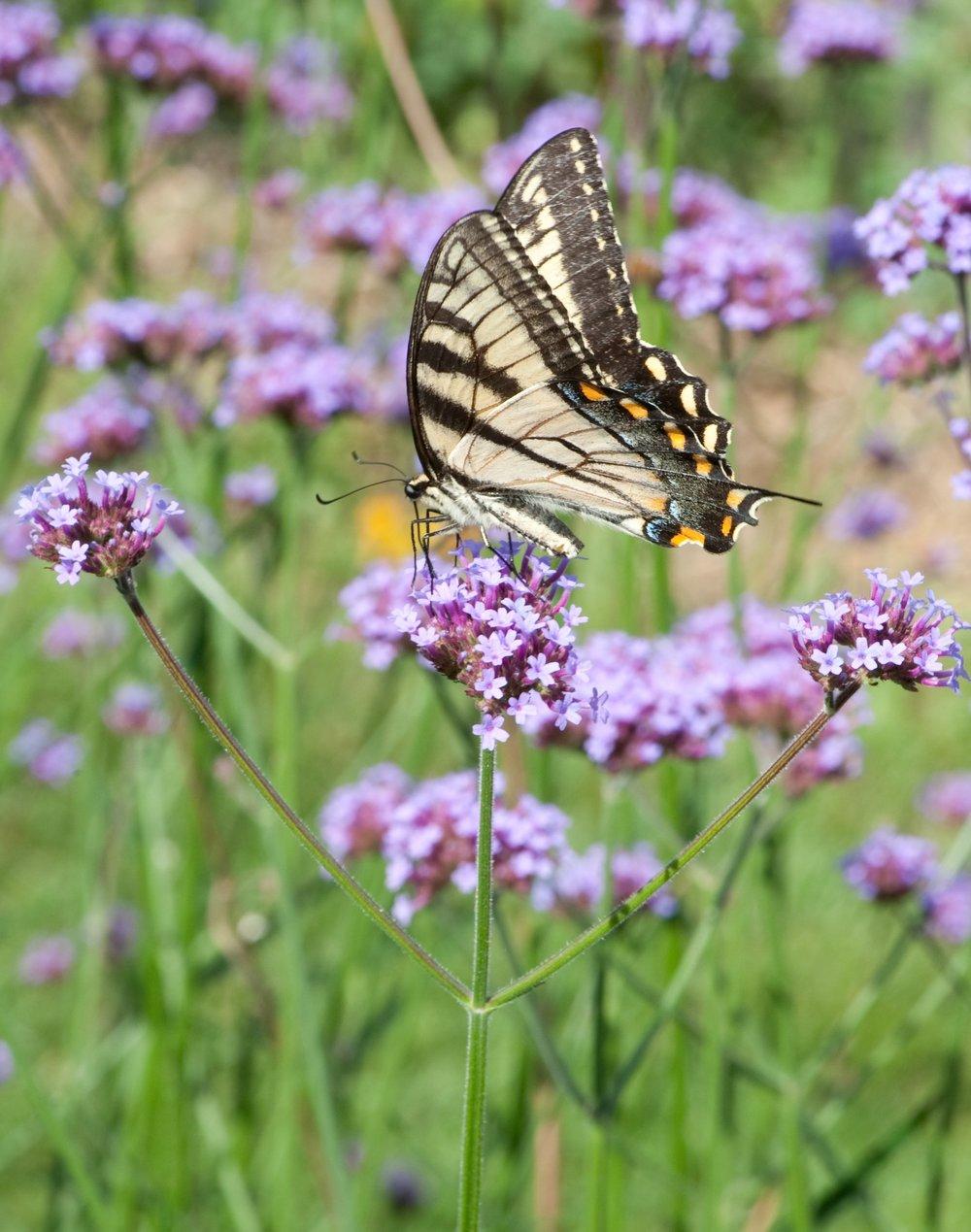 Anise swallowtail butterfly on  Verbena bonariensis  flowers.