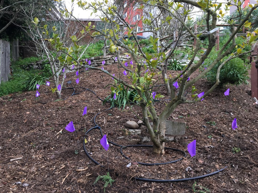 New plants in the north orchard marked with purple flags.