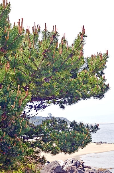 Shore Pine ( Pinus contorta ) along the Oregon Coast. Photo: G.D. Carr