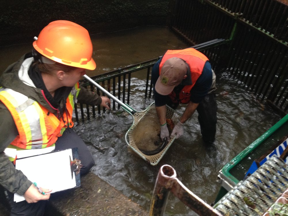 Chris Lorion (right) works with a technician at the Mill Creek (Siletz) Life Cycle Monitoring site