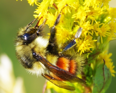 Bumblebee2278.jpg