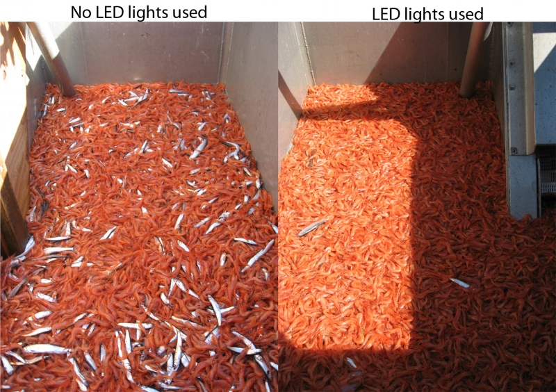 Pink shrimp bycatch reduction using LED lights: The hopper on the right (No LED's) shows high bycatch of Eulachon smelt, the hopper on the right (using LED's) shows much less bycatch.  The use of LED's results in sharp reduction of fish such as smelt, rockfish and flatfish. Findings showed 90% reduction of Eulachon smelt, 78% reduction of juvenile rockfish, 69% reduction of flatfish while having no significant impact on shrimp catch. (Photo Credit: ODFW-  https://www.dfw.state.or.us/mrp/shellfish/commercial/shrimp/LEDs.asp )