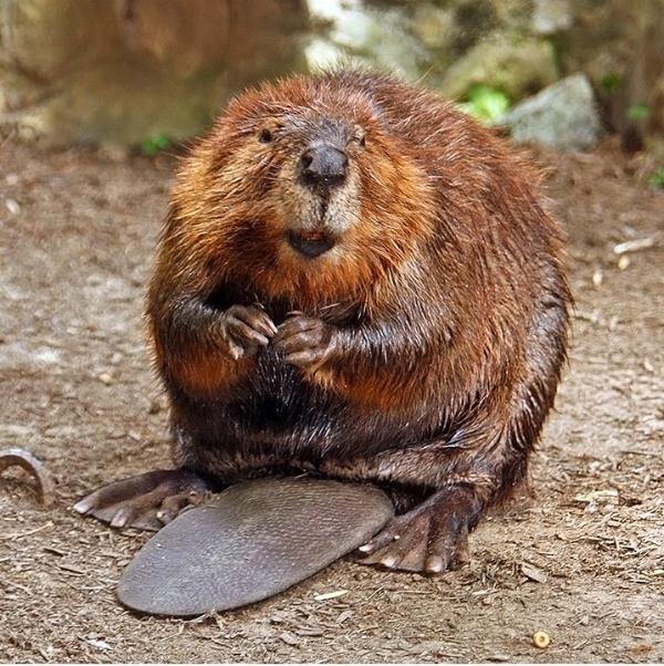 American Beaver ( Castor canadensis )