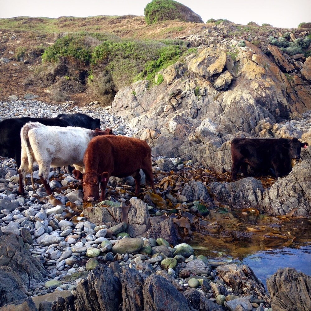 Our cows are special, they are grass fed and Kelpfed