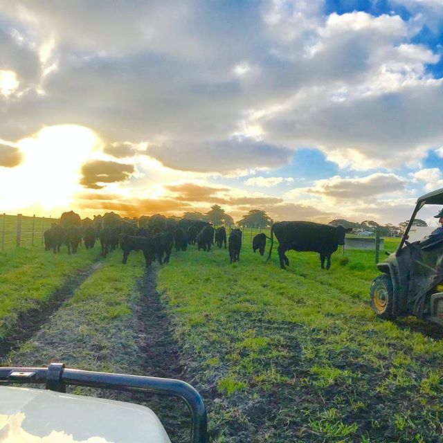 Left dinner cooking (roast chicken and potatoes) while doing some late jobs on the farm. Moving cows and calves always a challenge. Potatoes where pretty brown by the time we got back 😛 #movingstock #movingcowsandcalves #calves #angus #farmjobs #farmwork #tasag #ausag #grassfedbeef #kingisland #meatyourbeef #farmtours