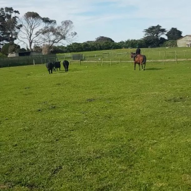 Great day to take my horse for a ride while moving the bulls to the other side of the farm.  Spring has to be my favourite time of the year  #movingbulls #drjazz #riding #horses #quarterhorse #angusbulls #spring #grassfedbeef #pasturedbeef #farming #kingisland #meatyourbeef #tours #visitkingisland #metime #mykindofday